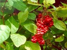 Naturopathy Canonsburg PA Schisandra Berries